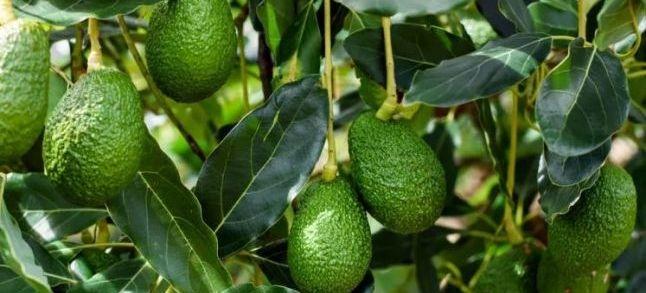 شركة إسرائيلية كبرى تستثمر في زراعة الأفوكادو بالمغرب